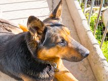 Shepherd Dog. Dog lying on the ground in the yard looking into the distance stock photo