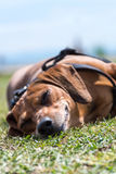 Dog lying happy in the grass, with a smile on its face, sleeping. And relaxing in the sun on a sunny day Stock Photo