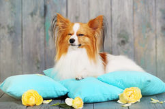 The dog is lying with his eyes closed Royalty Free Stock Image