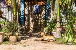 Dog lying by his owners colorful house in a tropical exotic country royalty free stock images