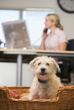 Dog lying in home office with woman in background Royalty Free Stock Photos