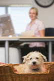 Dog lying in home office with woman in background Royalty Free Stock Photography