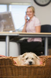 Dog lying in home office with woman in background. On the phone stock image