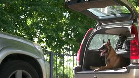 Dog is lying inside a car trunk. Belgian shepherd dog is obediently lying into an opened car trunk and looking outside stock video footage