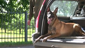 Dog is lying inside a luggage boot and starting to bark on a stranger. Shepherd malinois dog is lying inside a car trunk and starting to bark on a stranger stock video footage