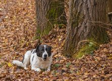 Dog lying on the lawn in autumn royalty free stock images