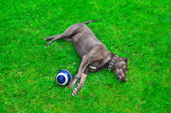 Dog lying on the lawn. Next to the soccer ball Royalty Free Stock Photos