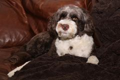 Dog Lying on the Leather Sofa Stock Photography