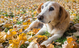 Dog lying on leaves Royalty Free Stock Photo