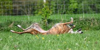 Dog lying in the meadow. Brindle Galgo lying in the meadow Stock Photo