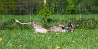 Dog lying in the meadow. Brindle Galgo lying in the meadow Stock Photos