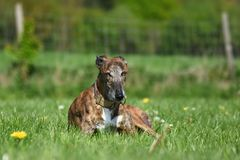 Dog lying in the meadow. Brindle Galgo lying in the meadow Stock Images