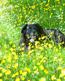 Dog lying on a meadow Royalty Free Stock Images