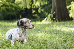 Dog lying on the meadow staring off into the distance. Royalty Free Stock Image