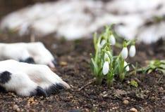 Dog lying near the first snowdrops. Dog lying near the first spring snowdrops royalty free stock photo