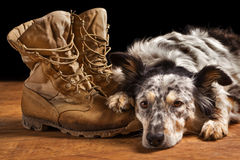 Dog lying next to combat boots. Border collie / Australian shepherd mix dog, pet lying on tan veteran military, combat, work construction, boots looking sad Stock Images