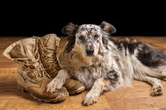 Dog lying next to combat boots. Border collie / Australian shepherd mix dog, pet lying on tan veteran, military, combat, work, construction boots looking sad Stock Images
