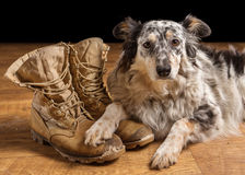Dog lying next to combat boots. Border collie / Australian shepherd mix dog, pet lying on tan veteran, military, combat, work, construction boots looking sad Royalty Free Stock Image