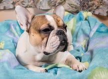 Dog lying on the pillow Stock Photos