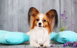 Dog lying on pillows Royalty Free Stock Images