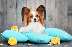 Dog lying on pillows Royalty Free Stock Photos