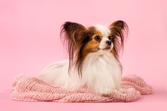 The dog is lying on a pink background