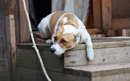 Dog lying on the porch and protects the house Royalty Free Stock Image