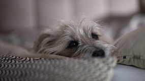 Dog lying quietly on the couch royalty free stock photo