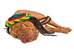Dog Lying in Rastafarian Hat Stock Photo