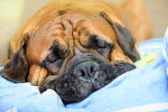 Dog lying and resting Royalty Free Stock Images