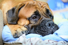 Dog lying and resting Stock Images