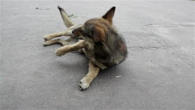 Dog lying on the road. Mongrel dog is resting on the road and thrown to the side stock footage