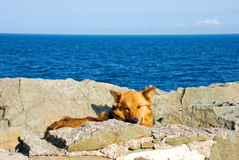 Dog lying on rock Stock Image