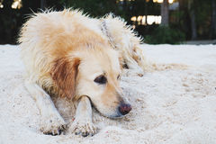 A dog lying on sand at the beach, with sad eyes and wet fur. poor solitude dog on the beach. poor dog waiting for its owner on the. Beach.sad dog Royalty Free Stock Photos