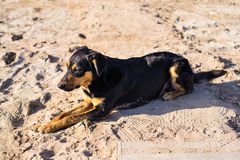 A dog lying on sand at the beach, with sad eyes and wet fur. poor solitude pet. Lonely dog waiting for its owner. Royalty Free Stock Photo