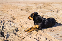 A dog lying on sand at the beach, with sad eyes and wet fur. poor solitude pet. Lonely dog waiting for its owner. Royalty Free Stock Images