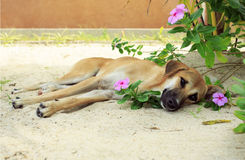 Dog lying on the sand in the flowers. Royalty Free Stock Image