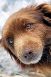 Dog lying on snow. Portrait of brown dog lying on snow in winter Stock Photo