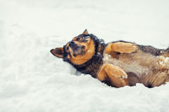 Dog lying on the snow Stock Photography