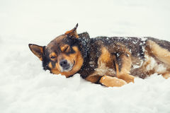 Dog lying on the snow Stock Images