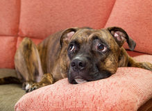 Dog lying on a sofa Royalty Free Stock Photography