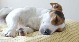Dog lying on sofa. At home stock video footage