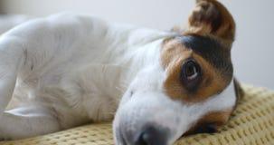 Dog lying on sofa. At home stock footage