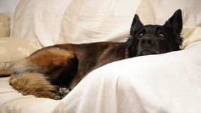 Dog lying on the sofa Royalty Free Stock Images