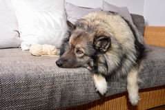 Dog lying on a sofa Royalty Free Stock Images
