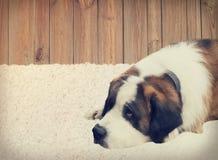 Dog lying Royalty Free Stock Photo