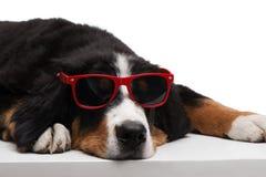 Dog lying in sun glasses Stock Photo