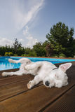 Dog lying at swimming pool Stock Photography