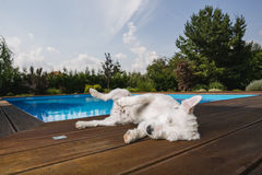 Dog lying at swimming pool Royalty Free Stock Photography