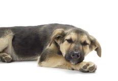 Dog lying Royalty Free Stock Photos